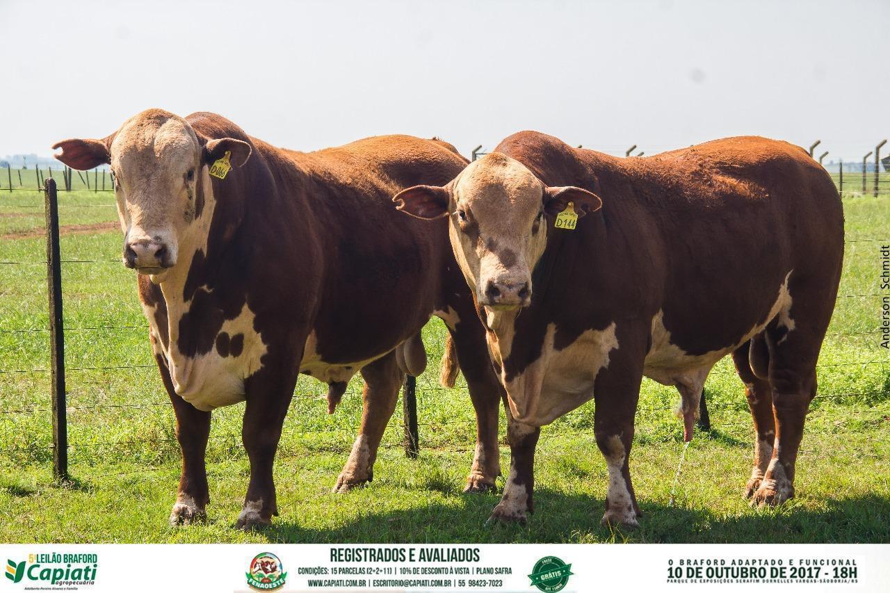 V Leilão Braford Capiati Agropecuária - São Borja