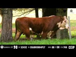 Touro BRAFORD - Tat S2432