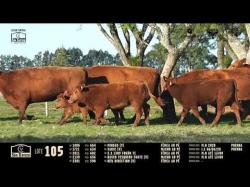 5 vacas angus com cria ao pé