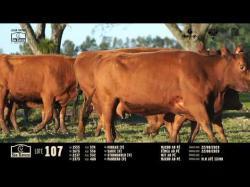 4 vacas angus com cria