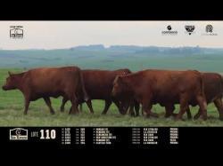 6 vacas angus prenhas