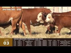 05 vacas Braford prenhas com cria