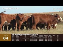 06 vacas Braford prenhas com cria