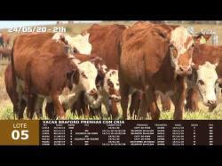 07 vacas Braford prenhas com cria
