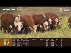 09 vacas Braford com cria