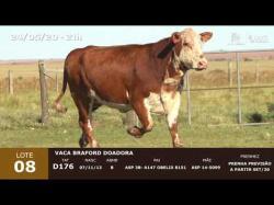 01 vaca Braford doadora