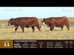 02 vacas Braford prenhas