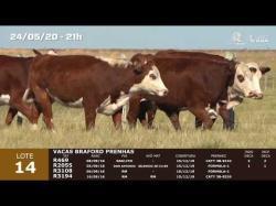 04 vacas Braford prenhas