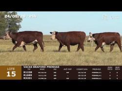 03 vacas Braford prenhas