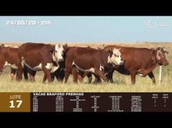 08 vacas Braford prenhas
