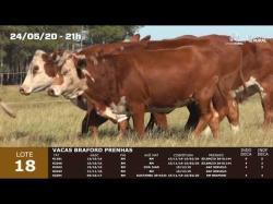 05 vacas Braford prenhas