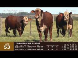 03 touros Braford 2,5 anos