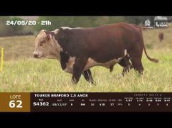 01 touro Braford 2,5 anos