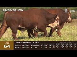 02 touros Braford 2,5 anos