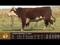 02 touros Hereford 3,5 anos