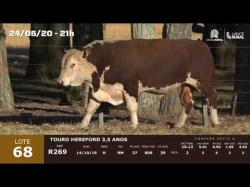 01 touro Hereford 3,5 anos
