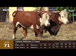 02 touros Hereford 2,5 anos