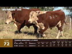 02 touros Hereford 1,5 anos