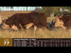 05 touros Braford 1,5 anos