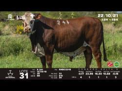 lote 31 - R241 - Braford 3a