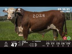 lote 47 - T2028 - Braford 3a