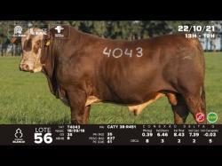 lote 56 - T4043 - Braford 3a