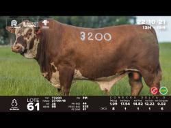 lote 61 - T3200 - Braford 3a