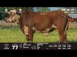 lote 77 - J491 - Braford 2a