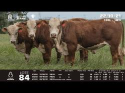 lote 84 - V3051, V3314, V3321 - Braford 1,5a