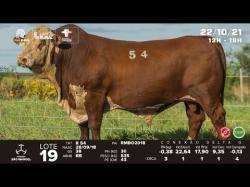 lote 19 - R54 - Braford 3a